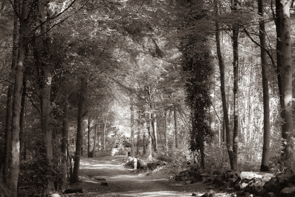 A sepia picture of woodland